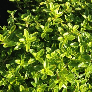Plant - Thyme - Lime