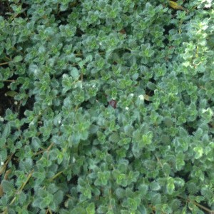 Plant - Thymus Pseudolanguinosus - Wooly Thyme