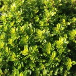 Plant_Thymus_Citriodorus_Lime