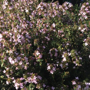 Plant - Thymus 'Rose Williams'